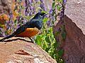 Mocking Cliff-chat (Thamnolaea cinnamomeiventris) male (7034460725).jpg