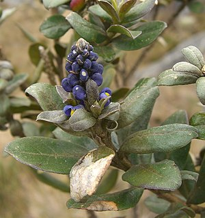 Sumapaz Páramo - Monnina salicifolia