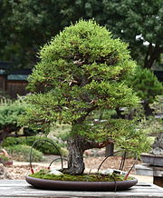Monterey Cypress, GSBF-CN 140, September 12, 2008.jpg