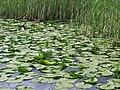 Monticchio, lago grande flora - panoramio.jpg
