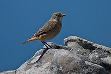 Monticola explorator -Cape Town, Western Cape, South Africa -female-8.jpg
