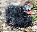 Moorhen chick in Regent's Park.jpg