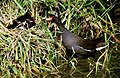 Moorhen family feeding on bank of the River Witham - geograph.org.uk - 1640290.jpg