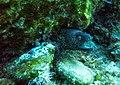 Moray eel (36945794280).jpg