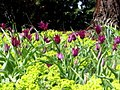 More Tulips! (4546894158).jpg