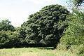 Moretonhampstead, Sycamore tree - geograph.org.uk - 1442586.jpg