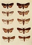 Moths of the British Isles Plate137.jpg
