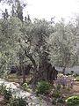 Mount of Olives, olive tree.jpg