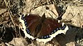 Mourning Cloak butterfly - Camberwell (Nymphalis antiopa) - panoramio.jpg