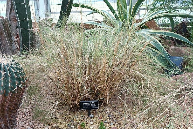 Payl Muhlenbergia Dumosa Brooklyn Botanic Garden