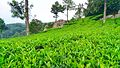 Munnar teaplantantion.jpg