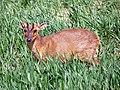 Muntjac Deer (Muntiacus reevesi) (8945832421).jpg