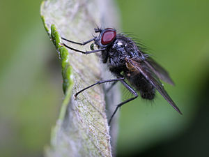 Muscidae sp. Macro