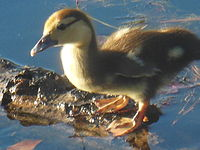 Muscovy duck - Wikipedia