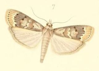 <i>Mussidia</i> genus of insects