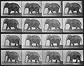 Muybridge, Eadweard - Gehender Elefant (0.63 Sekunden im Durchschnitt) (Zeno Fotografie).jpg