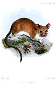 Salvin's spiny pocket mouse - Wikipedia