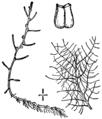 Myriophyllum humile BB-1913.png
