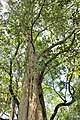 Myrtales - Lagerstroemia calyculata - 2.jpg
