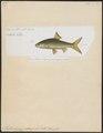 Mystacoleucus padangensis - 1700-1880 - Print - Iconographia Zoologica - Special Collections University of Amsterdam - UBA01 IZ14900001.tif