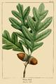 NAS-001a Quercus alba.png