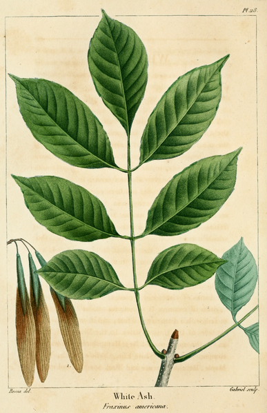 File:NAS-118 Fraxinus americana.png