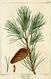 NAS-139 Pinus virginiana.png