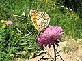 NP Kopaonik (NP02) - Leptir iz roda Melitaea.jpg