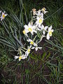 Narcissus4886.JPG