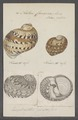 Natica canrena - - Print - Iconographia Zoologica - Special Collections University of Amsterdam - UBAINV0274 082 14 0009.tif