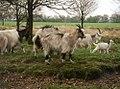 Nederlandse Landgeit geiten.jpg
