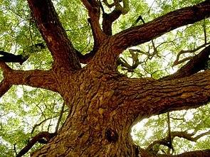 Niembaum (Azadirachta indica)