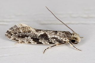 <i>Nemapogon granella</i> species of insect