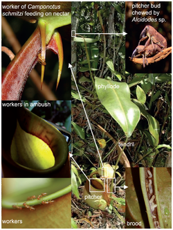 Nepenthes bicalcarata and Camponotus schmitzi.png