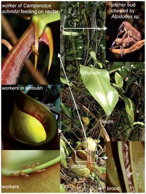 Camponotus schmitzi in Symbiose mit Nepenthes bicalcarata