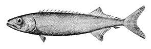 Ölfisch, Zeichnung aus Oceanic Ichthyology von G. Brown Goode und Tarleton H. Bean (1896).