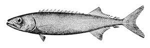 Nesiarchus nasutus - Image: Nesiarchus nasutus