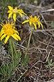 Nestotus stenophyllus 7886.JPG