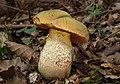 Netzstieliger Hexen-Röhrling Boletus luridus.jpg