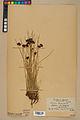 Neuchâtel Herbarium - Juncus jacquinii - NEU000044966.jpg