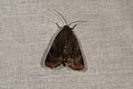 Noctua sp. (35569461964).jpg