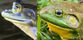 North-American-bullfrog - adult male and female eardrums.png