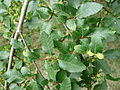 Nothofagus obliqua 03 by Line1.JPG