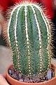 Notocactus magnificus 1zz.jpg
