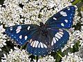 Nymphalidae - Limenitis reducta-002.JPG