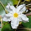 Nymphoides ezannoi - blossom (aka).jpg
