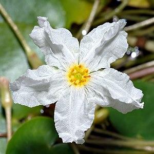Nymphoides - flower of Nymphoides ezannoi