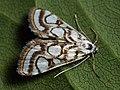 Nymphula nitidulata - Beautiful china-mark - Водная огнёвка прудовая (39924703405).jpg