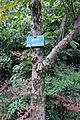 Nyssa sinensis - Chengdu Botanical Garden - Chengdu, China - DSC03578.JPG