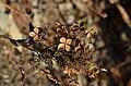 Oakleaf Hydrangea quercifolia 'Pee Wee' (2005-045-A) Winter.JPG